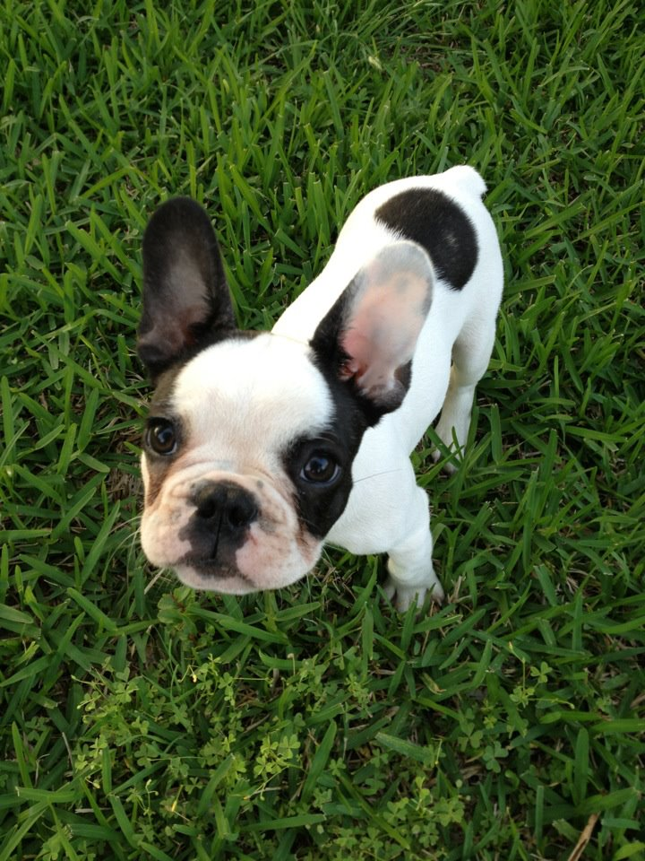 French Bulldog Puppy Bruiser