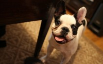 Dallas Wedding DJ Glenn Roush has a French Bulldog named Bruiser